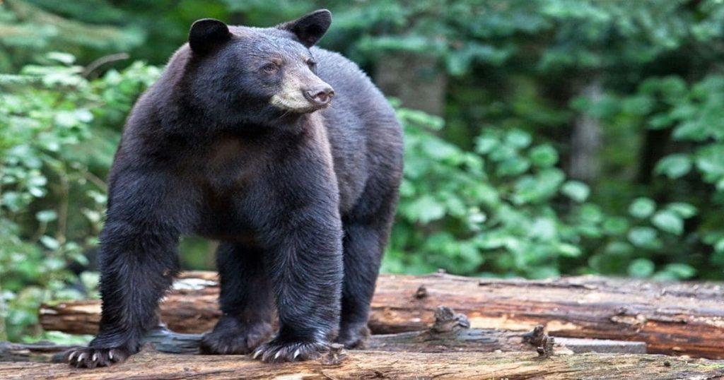 hunter-nation-black-bear-pine-trees-1200x630-20210331