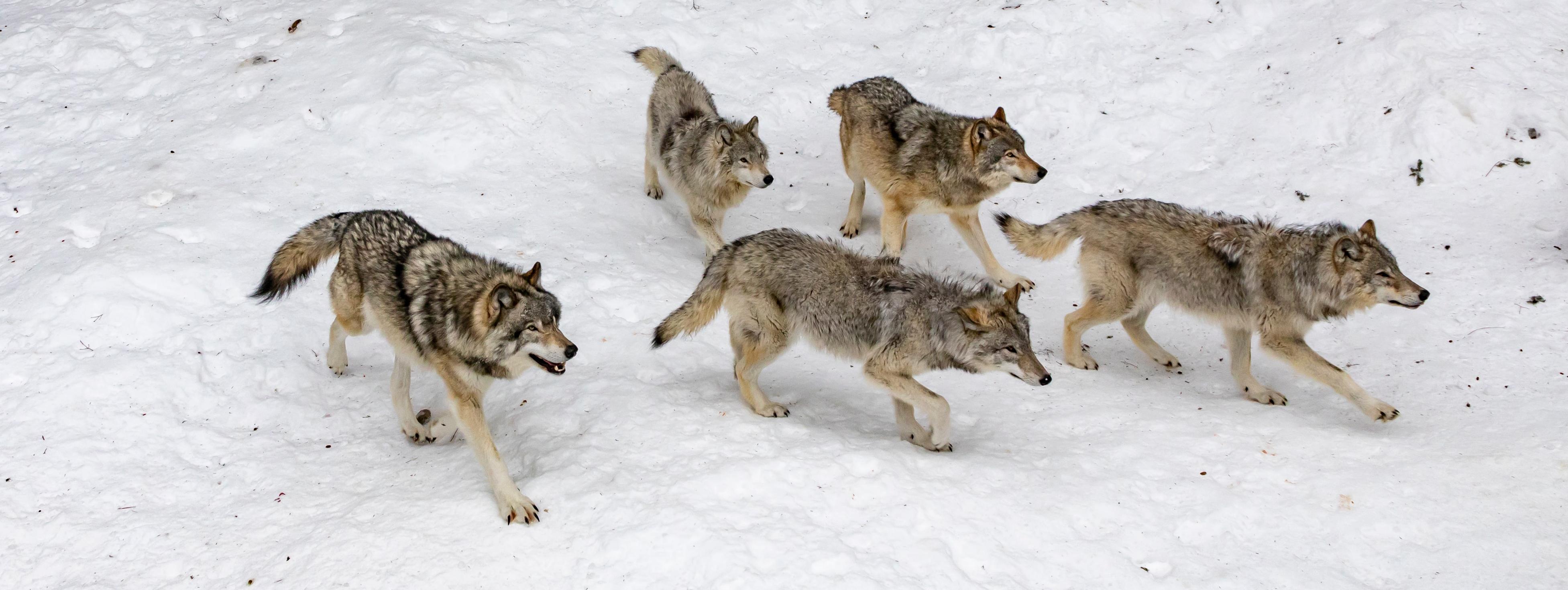 multi-wolves