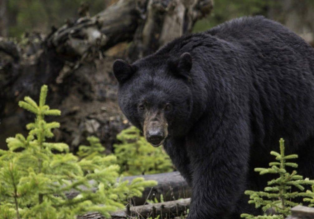 hn-black-bear-1007x1037-20210405