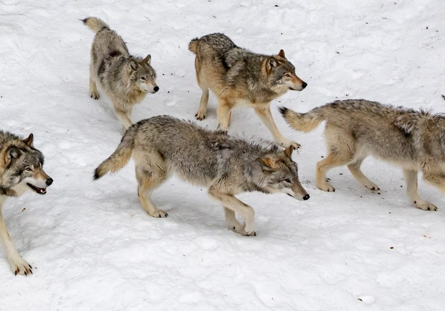 hn-wolf-pack-hunting-1200x628